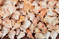 Seashell Royalty Free Stock Photo - 67238905