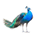Beautiful Male Indian  Peacock Isolated On White Background Stock Image - 67241811