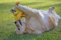 Retriever Playing With Toy Duck Stock Photos - 67253913