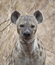 Spotted Hyena Royalty Free Stock Image - 6730256