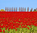Field Of Red Tulips Stock Photography - 6736112