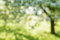Blurred Background Of Apple Garden Stock Photos - 67334093