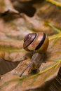 Snail On Autumn Leaves Stock Photography - 6741742