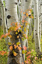 Aspen Trees With Red Shrub Royalty Free Stock Photos - 6748348