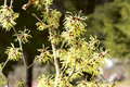Witch Hazel Stock Photography - 67406162
