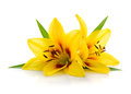Two Yellow Lily Royalty Free Stock Image - 67424946