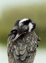 Great Cormorant Hiding Its Face In Feather Stock Image - 67426051