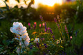 Lavender And Rose Flowers, Home Garden In Backlight Stock Photos - 67426203