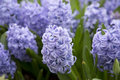 Blue Hyacinth  Growing In The Garden Royalty Free Stock Photo - 67505445