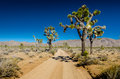 Large Joshua Trees Flanking Dirt Road Stock Photography - 67564462