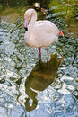 Pink Flamingo And Its Mirror Image Stock Image - 67582081