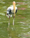 Painted Stork Stock Images - 6762464