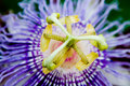 Purple Passion Flower Royalty Free Stock Images - 6769379