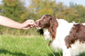 English Springer Spaniel Dog Being Given Treat Royalty Free Stock Images - 67635469
