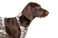 German Shorthaired Pointer Royalty Free Stock Images - 67656049