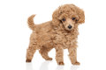 Toy Poodle Puppy Royalty Free Stock Photos - 67656078