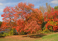 Red Maple Trees Royalty Free Stock Photo - 67715225