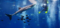 Whale Shark And The Diver Stock Photography - 67768952