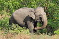 Elephant In The Bush Stock Images - 67792424