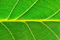 Extreme Close Up Of Green Leave Royalty Free Stock Images - 6781149