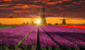 Windmill With Tulip Field In Holland Stock Image - 67803171