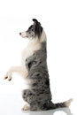 Border Collie Dog Stock Photos - 67829123