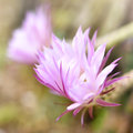 Pink Cactus Flowers Royalty Free Stock Images - 67830909