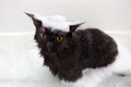 Maine Coon Cat Taking Bath Royalty Free Stock Photo - 67832165