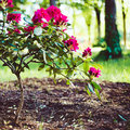 Blooming Rhododendron Stock Photos - 67916323
