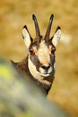 Chamois, Rupicapra Rupicapra, Detail Portrait With Horns, Rock Animal Hidden In The Stone, Yellow Grass Hill In The Background, Gr Stock Photo - 67938410