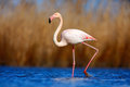 Greater Flamingo, Phoenicopterus Ruber, Beautiful Pink Big Bird In Dark Blue Water, With Evening Sun, Reed In The Background, Anim Royalty Free Stock Photo - 67941975