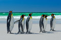 Group Of King Penguins, Aptenodytes Patagonicus, Going From White Sand To Sea, Artic Animals In The Nature Habitat, Dark Blue Sky, Royalty Free Stock Photos - 67942048