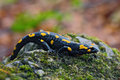 Gorgeous Fire Salamander, Salamandra Salamandra, Spotted Amphibian On The Grey Stone With Green Moss Royalty Free Stock Photography - 67942057