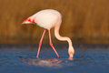 Greater Flamingo, Phoenicopterus Ruber, Nice Pink Big Bird, Head In The Water, Animal In The Nature Habitat, Camargue, France Royalty Free Stock Photography - 67942117