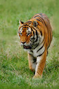 Beast Of Prey Amur Or Siberian Tiger, Panthera Tigris Altaica, Walking In The Grass Royalty Free Stock Image - 67942156
