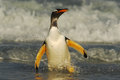 Gentoo Penguin Jumps Out Of The Blue Water While Swimming Through The Ocean In Falkland Island Royalty Free Stock Photography - 67951477