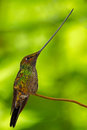 Sword-billed Hummingbird, Ensifera Ensifera, It Is Noted As The Only Species Of Bird To Have A Bill Longer Than The Rest Of Its Bo Royalty Free Stock Photo - 67952055