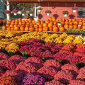 Pumpkins And Mums Royalty Free Stock Photography - 67953437