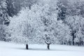 Two Solitary Tree In Winter, Snowy Landscape With Snow And Fog, White Forest In The Backgroud Royalty Free Stock Photography - 67953667