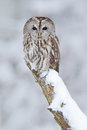 Tawny Owl, Snow Covered Bird In Snowfall During Winter, Nature Habitat, Norway Stock Images - 67954634