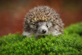 West European Hedgehog In Green Moss With Orange Background During Autumn Royalty Free Stock Photography - 67956987