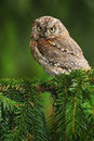Common Scops Owl, Otus Scops, Little Owl In The Nature Habitat, Sitting On The Green Spruce Tree Branch, Forest In The Background, Stock Photo - 67957150