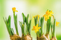 Yellow Daffodil Lilys On A Green Background Stock Photo - 67957460