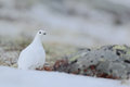 Rock Ptarmigan, Lagopus Mutus, White Bird Sitting On The Snow, Norway Stock Photography - 67962292