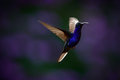 Flying Big Blue Hummingbird Violet Sabrewing With Blurred Dark Violet Flower In Background Royalty Free Stock Image - 67982186
