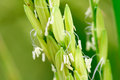 Close Up Rice Flower Stock Photo - 68043370