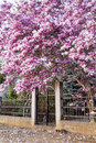 Pink Magnolia Tree Stock Image - 68070321