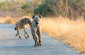 Hyenas Run In The Road Stock Photos - 68108843