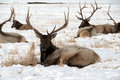 Bull Elk With Large Antlers Laying In Snow Stock Image - 68131681