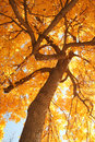 Autumn Leaves With Tree Branches In Upward View Stock Photography - 68133902